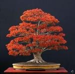 aacer_bonsai_tree_1_20130106_1226169851