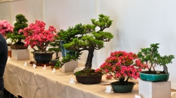 May is bonsai show month in Vancouver.