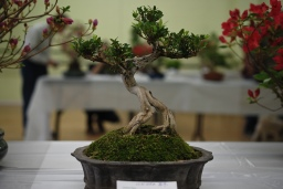Highlights from the Taiwanese Bonsai Show, May 2016