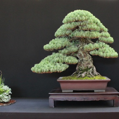 european-bonsai-sans-saulieu-bonsai-show-2016-16