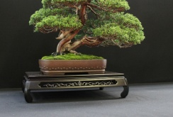 european-bonsai-sans-saulieu-bonsai-show-2016-28