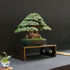 european-bonsai-sans-saulieu-bonsai-show-2016-32