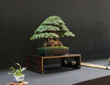 european-bonsai-sans-saulieu-bonsai-show-2016-32
