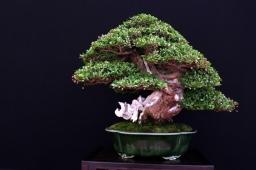 Spotlight: Bonsai Empire